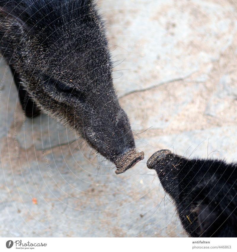 OINK oink Tier schwarz Tierjunges Liebe grau Glück braun wild Wildtier Tierpaar Kommunizieren Schutz Fell Vertrauen Tiergesicht Zoo