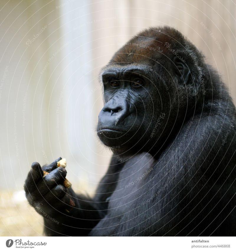 Ohne Worte Brot Essen Tier Wildtier Tiergesicht Fell Zoo Affen Menschenaffen Auge Nase Ohr Tierporträt Gorilla 1 beobachten Fressen außergewöhnlich dunkel
