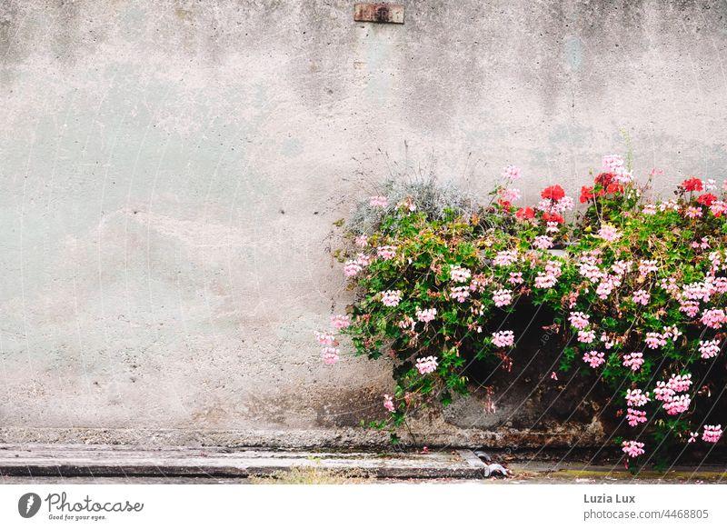 vor einer alten Stallwand blühen Begonien in rosa und rot, etwas Lavendel ist auch dabei Fassade Wand grau herbstlich Blüte Pflanze Blume Außenaufnahme Blühend