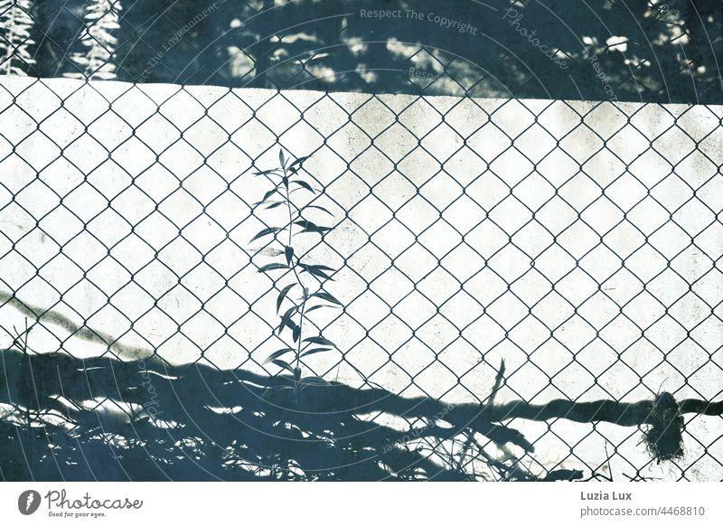 Schattenspiel oder Scherenschnitt: Blick in einen Schrebergarten ins Gegenlicht und durch Zaun und Sichtschutz Kontrast Halm Maschendraht Maschendrahtzaun
