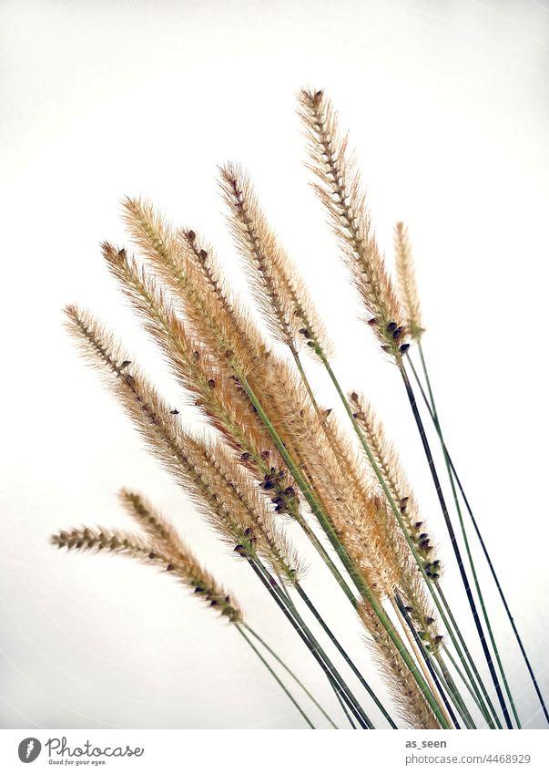 Gräser Pfeifenputzergräser Natur Herbst braun Pflanze Gras Menschenleer Umwelt natürlich Schwache Tiefenschärfe Farbfoto Gedeckte Farben Tag Getrocknet