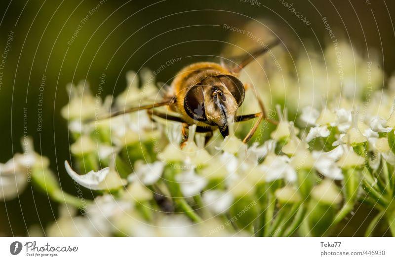 Necktar naschen 2 Natur Pflanze Tier Fliege lecker Schwebfliege