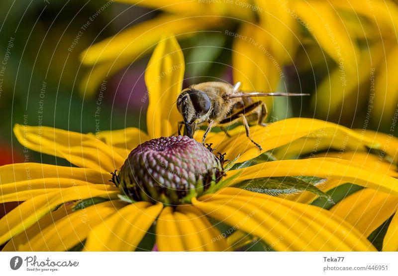 Nektar naschen Natur Pflanze Tier Blume Fliege 1 Körperpflege Schwebfliege Farbfoto Nahaufnahme Makroaufnahme Tierporträt