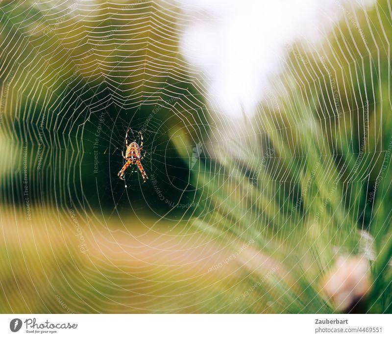 Kreuzspinne sitzt im Netz vor grüner Wiese und Pflanzen filigran Struktur Natur Insekt Spinne Nahaufnahme Spinnennetz Schwache Tiefenschärfe Angst Spinnenphobie