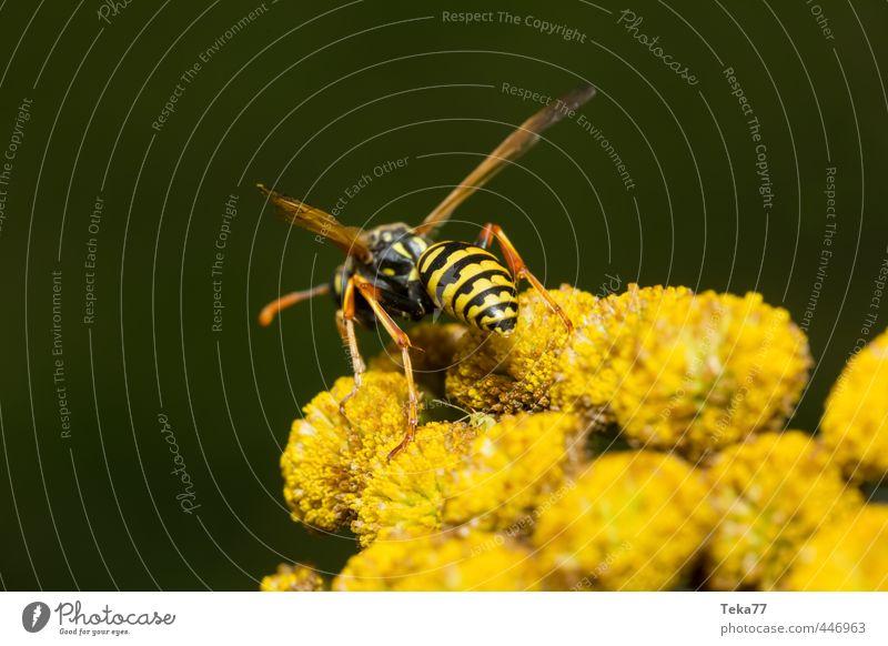 Bereit zum Angriff Natur Sommer Pflanze Blume schwarz gelb Wildtier Flügel Wespen Stich