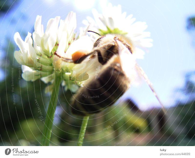 auf der suche nach süßem Sommer Blume Gänseblümchen Wiese Wespen Physik bestäuben Tier Biene Maja grün frisch Verkehr Sonne sun flower bine Wärme Ernte Natur