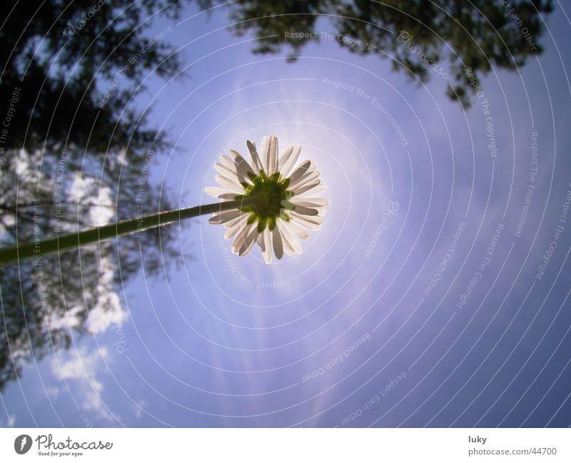 blume vs sonne Himmel Sonne Blume blau Sommer Ferien & Urlaub & Reisen Wiese frisch Perspektive unten Gänseblümchen Blauer Himmel