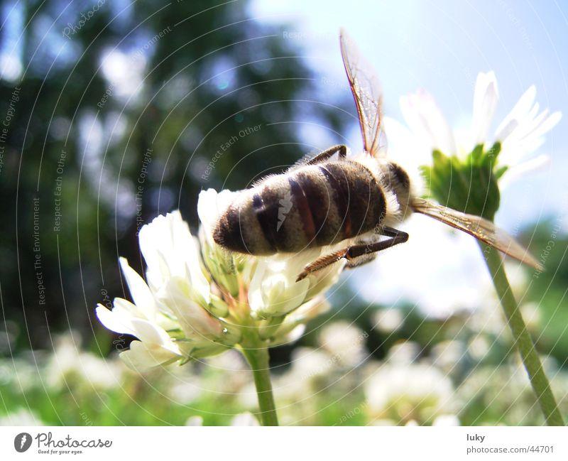 brummer sucht süßes Natur Sonne Blume Sommer Tier Wiese Wärme Verkehr Physik Biene Ernte Gänseblümchen Wespen bestäuben