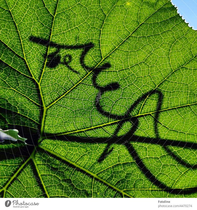 Im Sonnenlicht leuchten die Blattadern des Kürbisblattes besonders schön. Schattenhaft kringelt sich die Pflanze weiter, um neue Blüten und Blätter zu bilden.