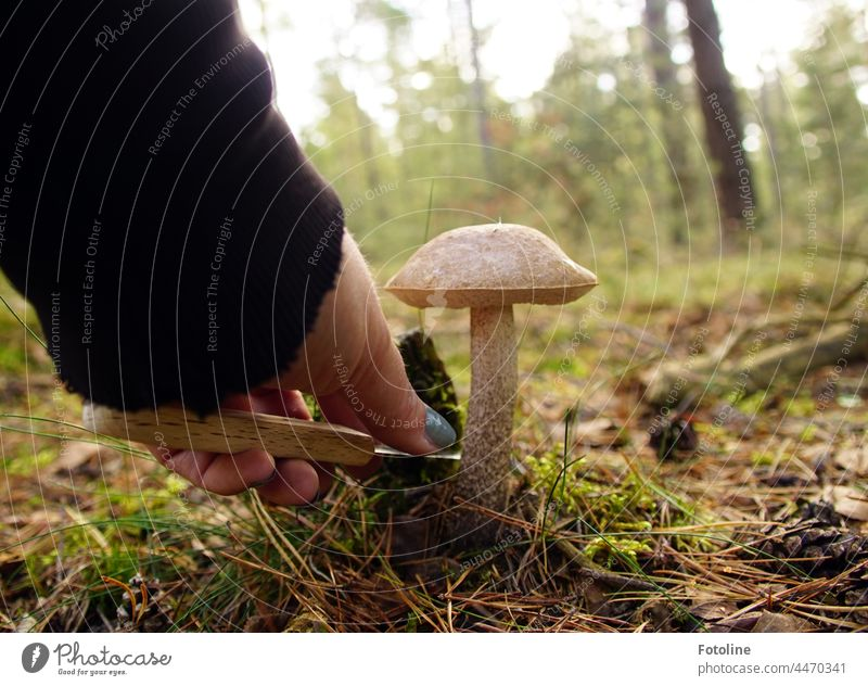 Da stand er der Birkenpilz. Wie aus dem Bilderbuch. Ich zückte mein Messer und schnitt ihn ab. Pilzhut Pilzsucher Natur Herbst Pflanze Außenaufnahme Farbfoto