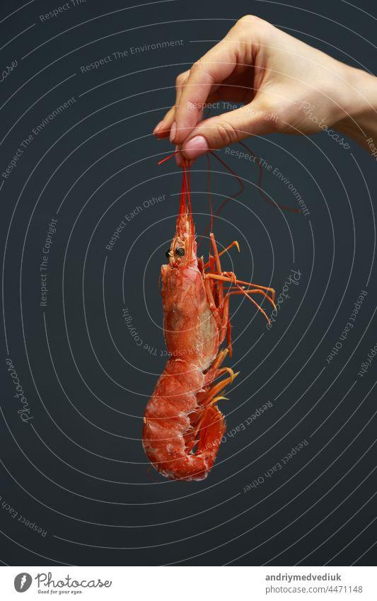 Nahaufnahme einer weiblichen Hand, die frische rohe rote Languste, Hummer, Garnelen oder Scampi auf schwarzem Hintergrund hält. Meeresfrüchte für eine gesunde Ernährung. copy space