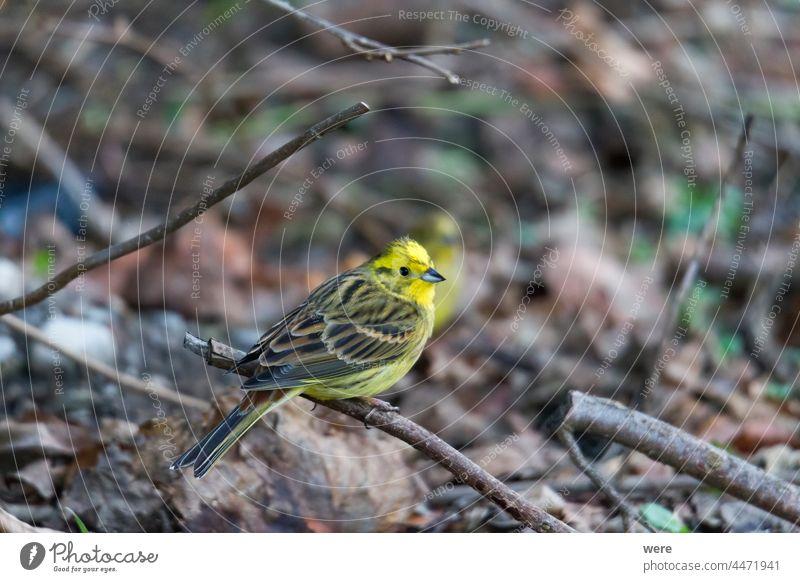 Goldammer sucht auf dem Waldboden nach Nahrung Emberiza-Zitrinella Tier Vogel Textfreiraum kuschlig kuschelig weich Federn Fliege Lebensmittel Boden Blick Natur