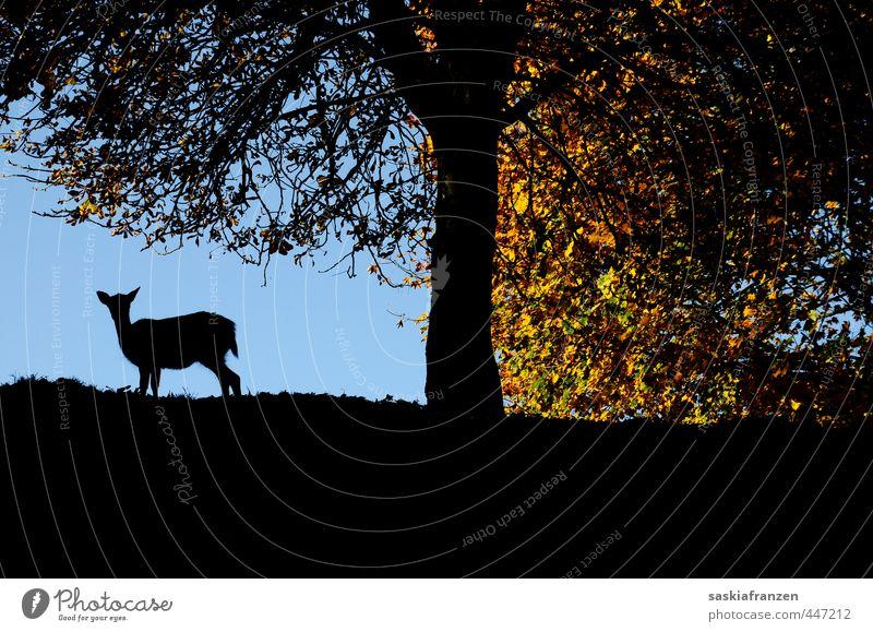 Herbstsilhouette Umwelt Natur Landschaft Pflanze Tier Himmel Sonne Sonnenlicht Schönes Wetter Blatt Wald Hügel Wildtier 1 Holz blau braun mehrfarbig schwarz Reh