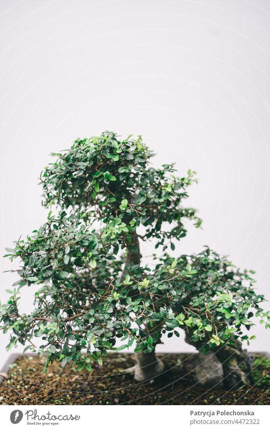 Grüner getöpferter Bonsaibaum vor grauem minimalistischem Hintergrund Baum sehr wenige eingetopft Japanisch Textfreiraum oben Pflanze