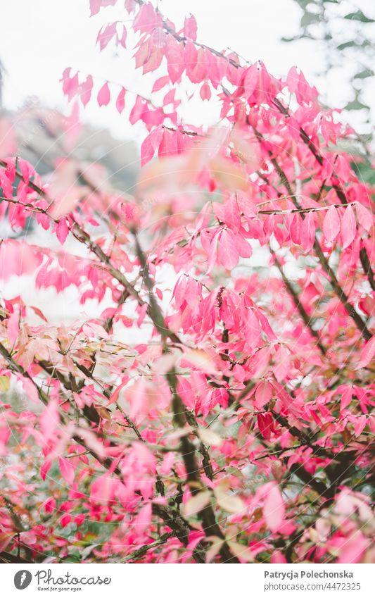 Herbstbaum mit rosa Blättern, weiche zarte Natur Baum fallen Wald Nahaufnahme filigran