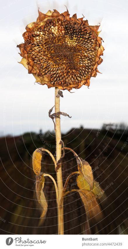 Welke Sonnenblume gelb Pflanze Makroaufnahme Detailaufnahme Nahaufnahme Garten Menschenleer Blume Blüte Natur Außenaufnahme Blütenblatt welk natürlich Herbst