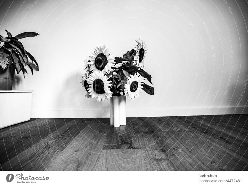vielen dank für die blumen… Zimmerpflanze Pflanzen Wohnzimmer Parkett Vase Sonnenblume prächtig Sonnenlicht Blütenstaub Wärme Umwelt Blütenblatt leuchtend Blume