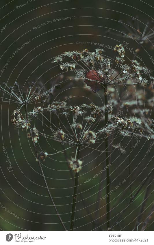 Trockene Blütenstände einer Schirmpflanze mit braunen Samen auf grünem Hintergrund. Abgefallene Blätter stecken in den Schirmpflanzen. Trauriger Herbsthintergrund.