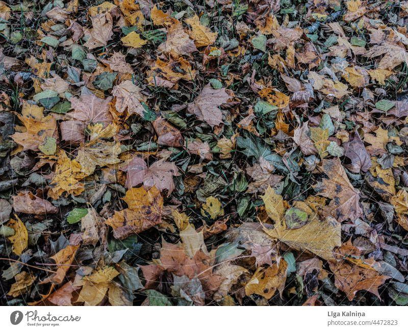Vollbild von Herbstblättern Blätter Herbstlaub Herbstfärbung Blatt Herbststimmung Außenaufnahme Farbfoto herbstlich Laubwerk Hintergrund Umwelt Herbstwetter