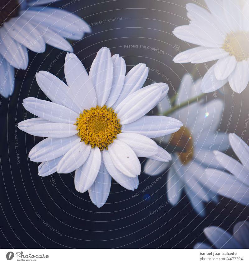 romantische weiße Gänseblümchen im Garten im Frühling Blume Blütenblätter Pflanze geblümt Flora Natur dekorativ Dekoration & Verzierung Schönheit