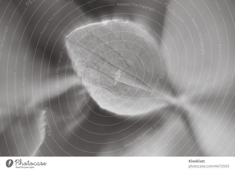 #111 - schwarzweiß Makroaufnahme eines Hortensienblattes - unscharfer Hintergrund Schwarzweißfoto Blütenblatt textfreiraum Unschärfe Schwache Tiefenschärfe