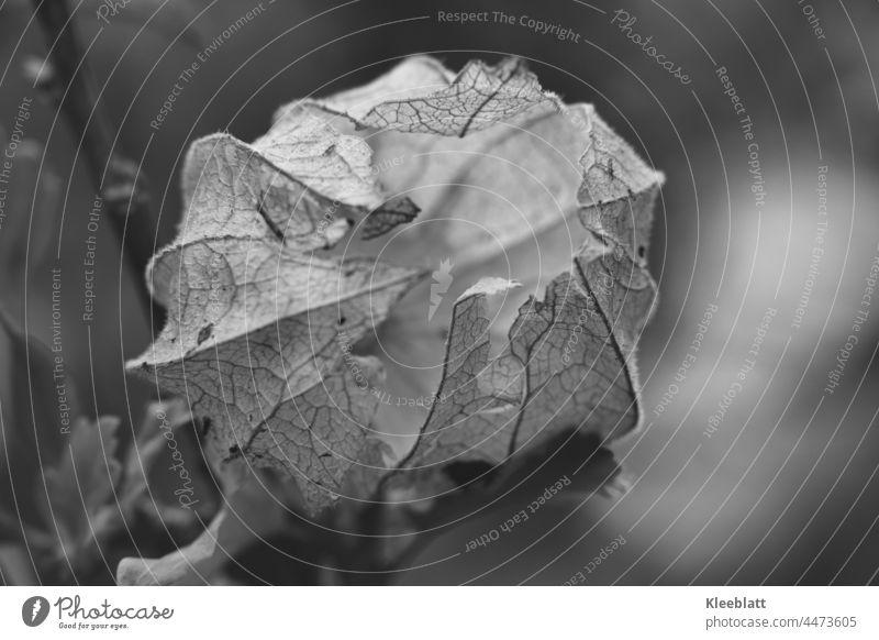 Nahaufnahme einer leeren Physalisfrucht in schwarzweiß Pflanze Lampionblume Farbfoto orange Herbst Kapstachelbeere Beeren Vitamin Vergänglichkeit