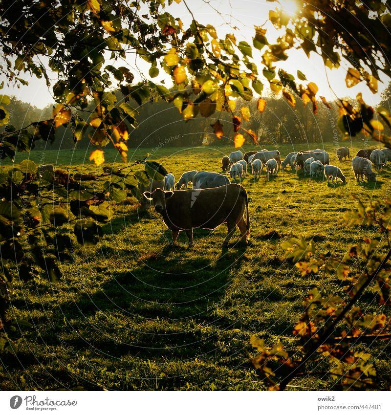 Wiesn Umwelt Natur Landschaft Pflanze Tier Klima Wetter Schönes Wetter Baum Gras Blatt Zweig Nutztier Kuh Herde beobachten Fressen Blick wandern Neugier viele