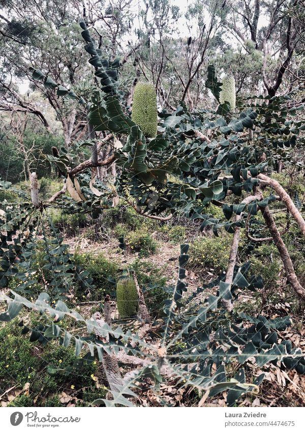 Naturschutzgebiet, Westaustralien Wilder Wald einheimische Pflanzen heimatlich Australien West Australien einheimische Wildpflanzen Blühend grün
