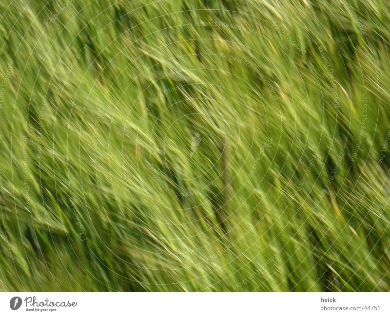 running corn Natur grün Sommer Frühling Feld Getreide Korn Weizen Ähren Aussaat Weizenähre