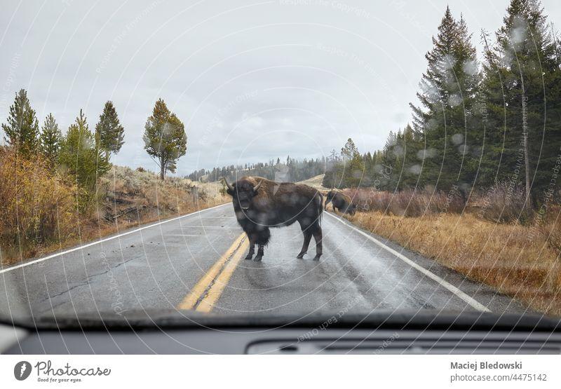 Amerikanischer Bison auf einer Straße durch die Windschutzscheibe gesehen im Yellowstone National Park, USA. Tierwelt amerika PKW Regen yellowstone Gefahr