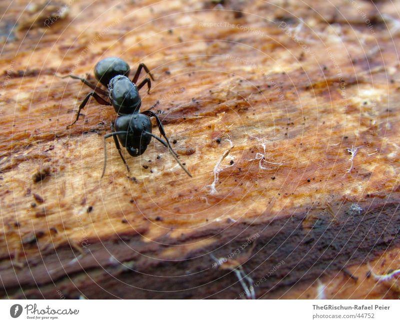 Ameise Natur Baum Tier schwarz Beine Angst stark Stress krabbeln Fühler
