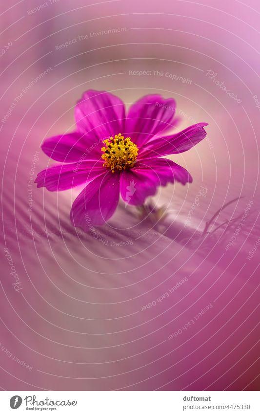 Makro Foto einer pinken Blume, Schmuckkörbchen Blüte Herbst Pflanze Blühend Natur Nahaufnahme rosa schön Außenaufnahme Garten Blütenblatt zart