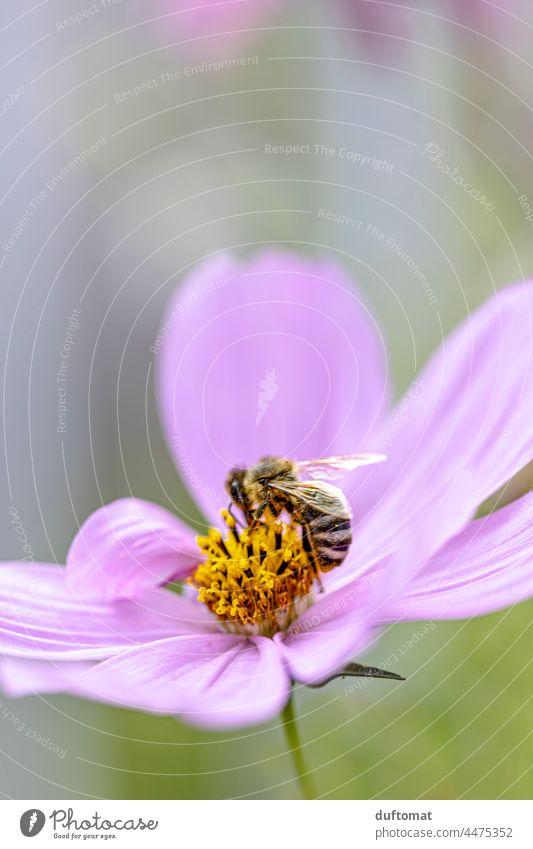 Makroaufnahme einer Biene auf einer rosa Blume, Schmuckkorb sorgsam Blüte Schmuckkörbchen Pflanze Blühend Natur Nahaufnahme Flügel Insekt hübsch Außenaufnahme