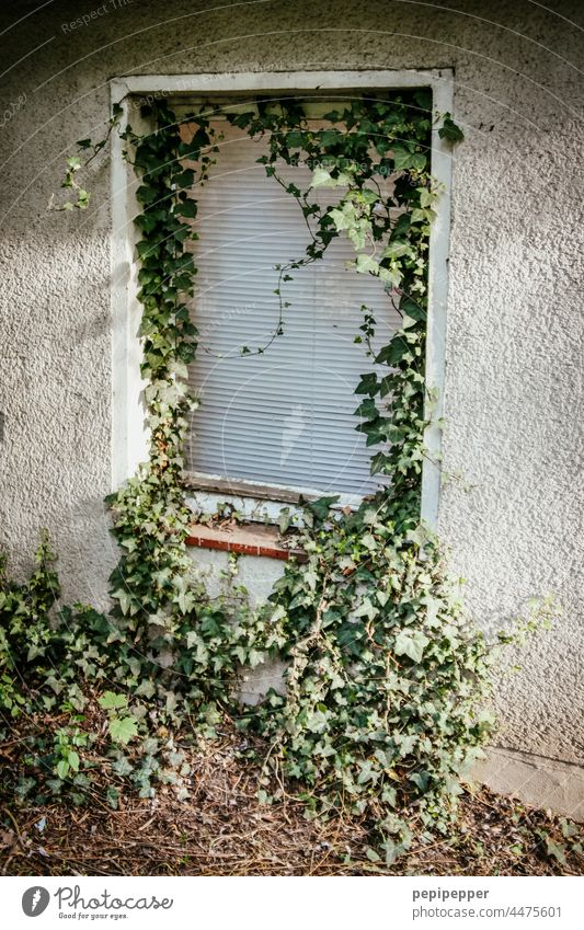 altes, verlassenes Haus mit Efeu bewachsenen Fensterrolladen altes haus Efeublatt Efeublätter efeuranke Efeuranken Rolladen Fensterladen Fensterbrett