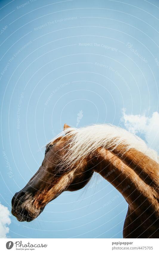 Pferdekopf von unten fotografiert Tier Tierporträt tierportrait Tierportait Außenaufnahme Mähne Farbfoto Tiergesicht Ponys Island Wildtier Island Ponys wild