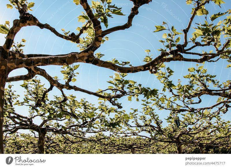 Ahornblättrige Platane Baum Himmel blau grün Blatt Ast Herbst Farbfoto Außenaufnahme Menschenleer Tag Pflanze Zweig Zweige und Äste herbstlich Baumstamm
