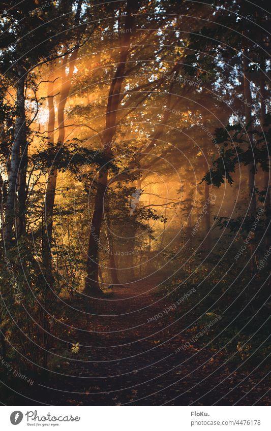 Sonnenstrahlen im Wald Sonnenaufgang Bäume Nebel Licht Sonnenlicht Natur Umwelt Landschaft Weg Pfad Waldweg Baum wandern Außenaufnahme Menschenleer grün Pflanze
