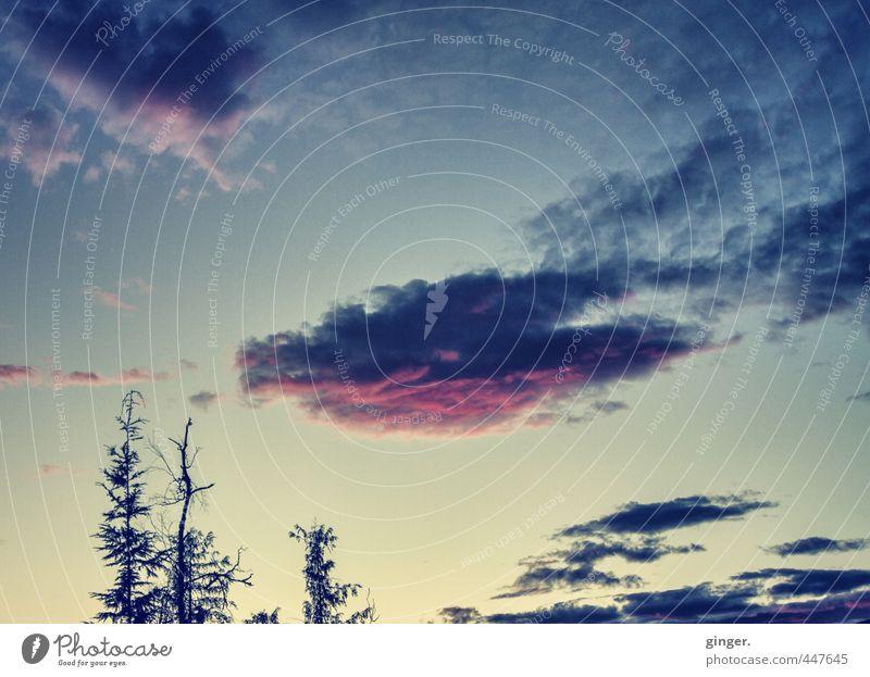 Canada Heaven Umwelt Natur Himmel nur Himmel Wolken Sommer Schönes Wetter Pflanze Baum Gefühle Stimmung fadenförmig Abenddämmerung rollen Nadelbaum Spitze hoch