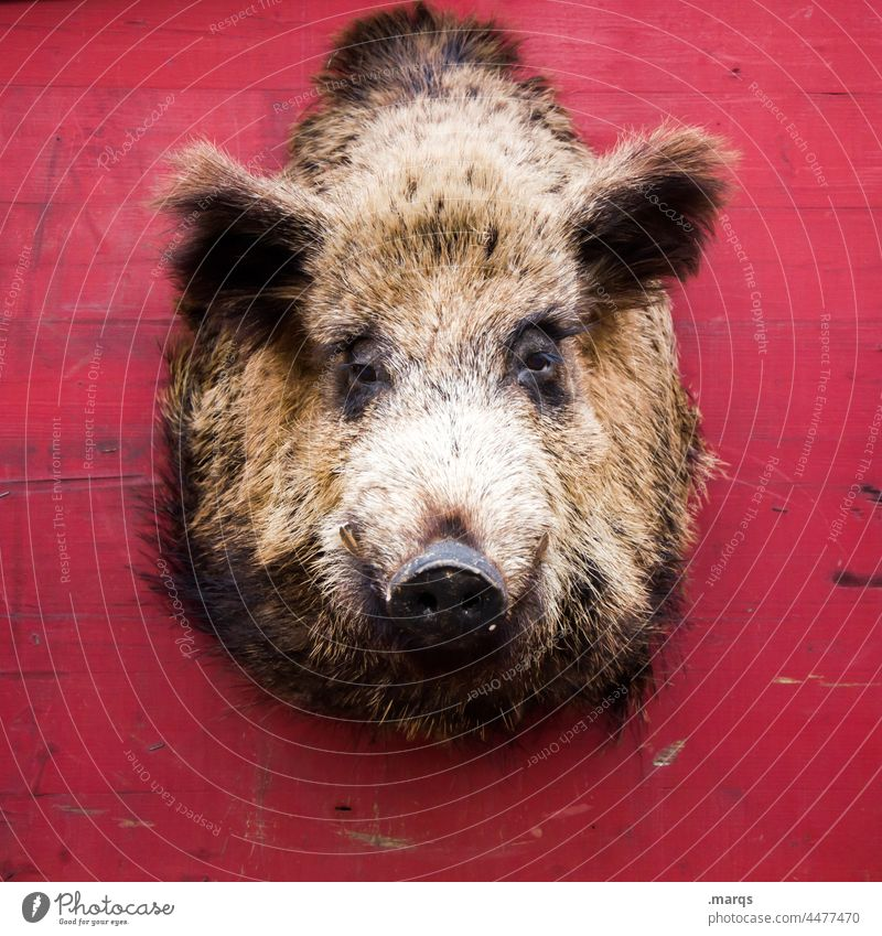 Schweinerei Wildschwein Kopf Trophäe Wand rot Tier Tierschutz Wildtier Jagd hängen makaber