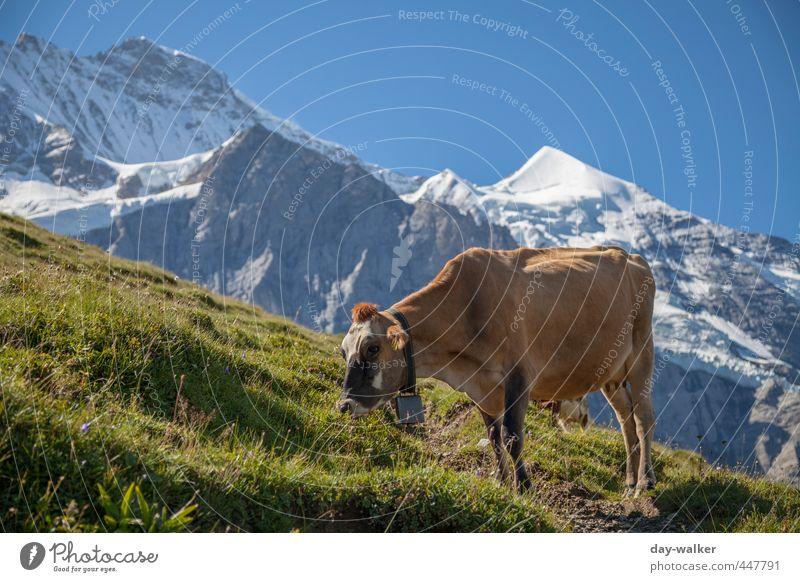 Grasen in dünner Luft Natur Landschaft Pflanze Urelemente Himmel Wolkenloser Himmel Sommer Schönes Wetter Felsen Alpen Berge u. Gebirge Gipfel