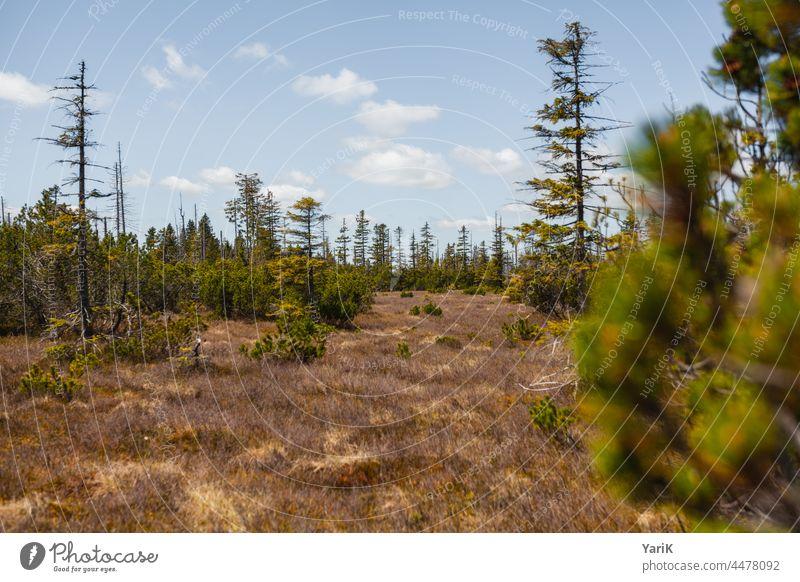 Latschenwald Latschenkiefer gras gräser moor nationalpark naturschutz naturschutzgebiet bäume äste zweige gebüsch gestrüpp bayerischer wald bayern borkenkäfer