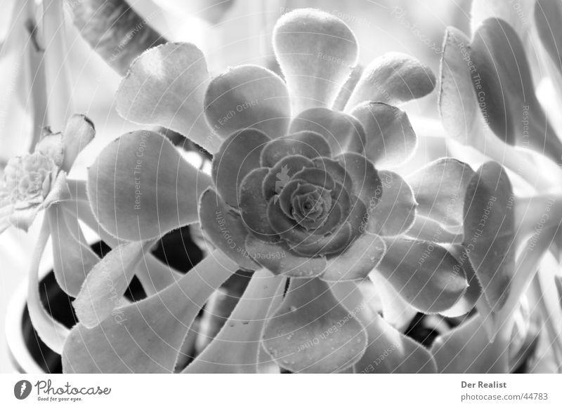 Flower #2 weiß Blume schwarz vielfach ansprechend