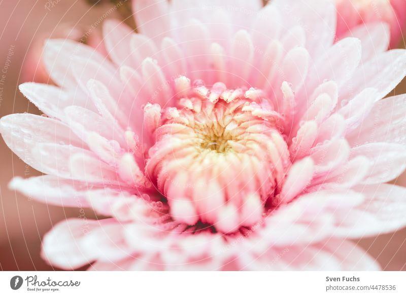 Rosa Blumen in einem weichen Morgenlicht blumen romantisch pastell flora floral blütenblatt pflanze eleganz dekorativ rosa hell botanisch bokeh glänzend natur