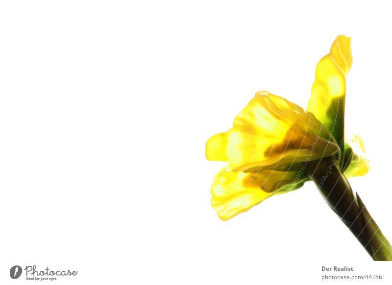 Flower schön weiß Sonne Blume gelb hell Hintergrundbild Teilung Sonnenblume