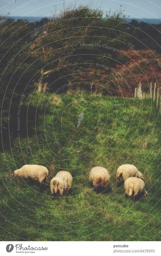 konstruktiv | düngemäher bei der arbeit Schafe Wiese Nordsee Düne Landschaft Wolle Tiergruppe Schafswolle Weide Nutztier Gras Herde Tierporträt Schafherde mähen
