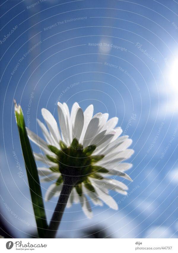 Der Sonne entgegen!! Himmel Sonne Blume blau Wolken Wiese Gras Frühling Wachstum Blühend unten Halm Gänseblümchen Frühlingstag