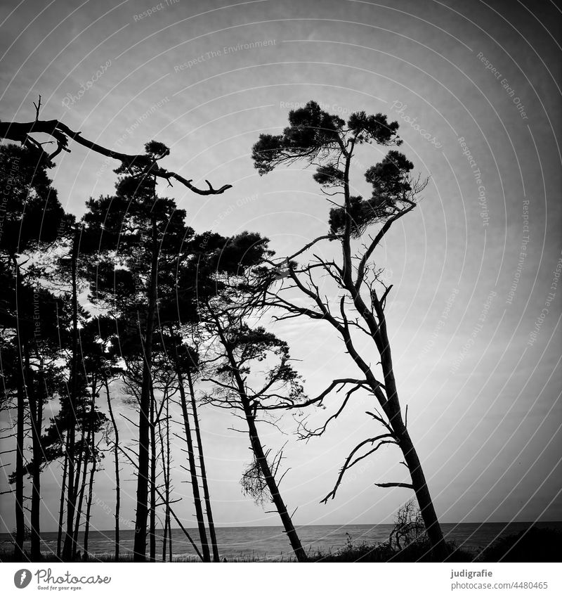Bäume am Weststrand Landschaft Wind Darß Fischland-Darß-Zingst Wald Strand Küste Meer Baum Windflüchter Schwarzweißfoto Ostsee Wasser Natur Meeresufer Himmel