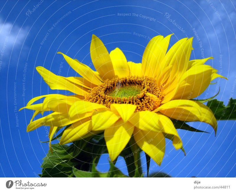 Sonne - Sommer - Sonnenblume Himmel Blume grün blau Sommer Blatt Wolken gelb Blühend Sonnenblume