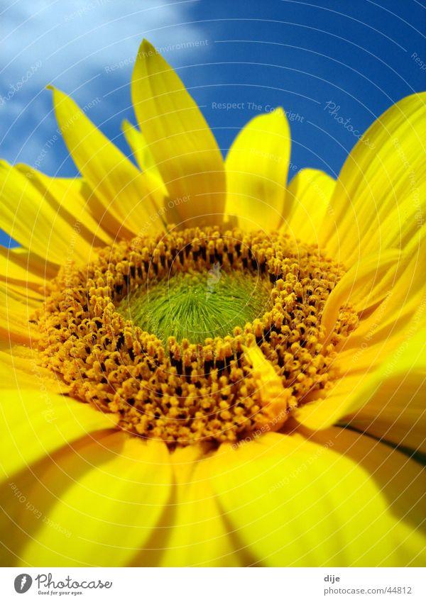 Sonnenblumendetail Sommer Blume gelb grün Wolken Blatt blau Blühte Blühend Detailaufnahme Himmel