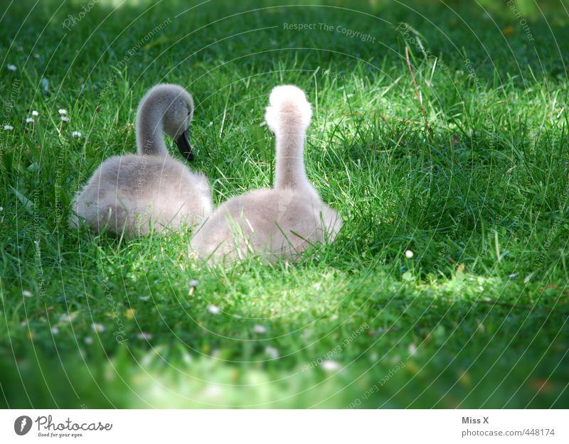 Küken Tier Tierjunges Wiese Gefühle Gras Frühling Stimmung Freundschaft Vogel Zusammensein sitzen Wildtier Tierpaar niedlich Schwan Geschwister